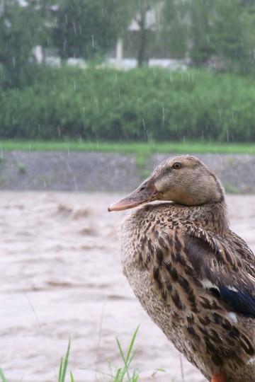 写真:たたずむ鴨